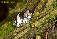 0305-0913  Froglet, Amazon Milk Frog (Marbled Tree Frog), Trachycephalus resinifictrix (formerly: Phrynohyas resinifictrix)  © David Kuhn/Dwight Kuhn Photography