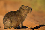 Capybara (Hydrochoerus hydrochaeris) juvenile, Ibera Provincial Reserve, Ibera Wetlands, Argentina