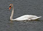 Mute Swan on Spring Lake