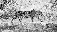 We were fortunate to see multiple jaguars nearly every time we went out on the river.<br /> <br /> This image is also available in color.