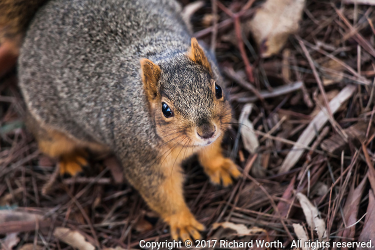 A squirrel stares directly into the camera on a background of pine needles and bark at a neighborhood park.