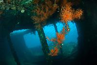 Coral-covered interior of wreck, Liberty Wreck dive site, Tulamben, near Seraya, Bali, Indonesia, Indian Ocean
