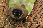 Brown Lemur (Eulemur fulvus fulvus), Andasibe-Mantadia National Park, Madagascar