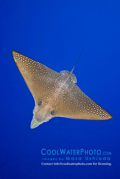 spotted eagle ray, Aetobatus narinari, Kona Coast, Big Island, Hawaii, USA, Pacific Ocean