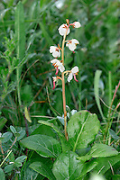 ROUND-LEAVED WINTERGREEN Pyrola rotundifolia (Pyrolaceae) Height to 15cm. Low-growing perennial of damp, calcareous ground including fens and coastal dune slacks. FLOWERS are 8-12mm across, white and bell-shaped; style is S-shaped and protrudes beyond petals (May-Aug). FRUITS are capsules. LEAVES are rounded, long-stalked and form a basal rosette. STATUS-Local and declining across its range.