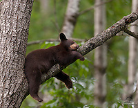 Brown-colored Black Bear cub sleeping in a tree, Northern Minnesota.