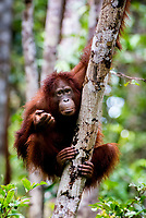 Orangutan (Pongo pygmaeus) - Tanjung Puting National Park, Central Kalimantan - Indonesia Borneo.