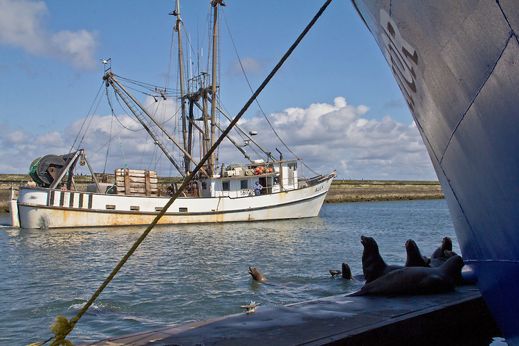 Washington Coast, California Sea Lions, Zalophus californianus, Westport, commercial fishing boats, Port of Westport, Grays Harbor County, Southwest Washington, Washington State, Pacific Northwest, USA,