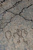 Petroglyphs at Kapalaoa<br />   south of Anaeho'omalu Bay<br /> North Kona<br /> Island of Hawaii, Hawaii