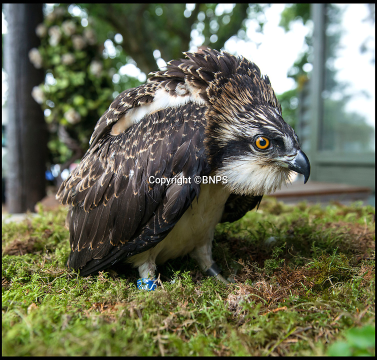 BNPS.co.uk (01202 558833)<br /> Pic: TomWren/BNPS<br /> <br /> Conservationists have placed eight osprey chicks into a harbour setting in a bid to re-colonise the endangered bird of prey to southern England.<br /> <br /> The young birds have been taken from nests in northern Scotland, where there are now sustainable populations of them, and transported 500 miles south to Poole Harbour in Dorset.<br /> <br /> They will live in pens until to can fly and explore the harbour which has a rich diet of fish for them.<br /> <br /> It is expected they will remain on the south coast for five weeks before they begin their long migration to West Africa where they overwinter.<br /> <br /> Experts hope that when the young ospreys return from Africa to the UK next spring they won't think about flying north and will stop in Poole.