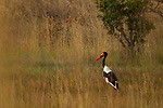 Saddle-billed Stork (Ephippiorhynchus senegalensis) male, Kafue National Park, Zambia