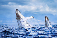 humpback whale, Megaptera novaeangliae, breaching, double breaching, Hawaii, USA, Pacific Ocean