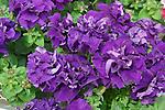 MADNESS DOUBLE CASCADE BLUE PETUNIA HYBRID