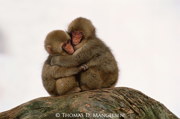 Two Japanese macaque or snow monkeys embrace against the cold in Jigokudani National Park, Japan.
