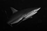 Carcharhinus perezi, Caribbean reef shark, Eleuthera, Bahamas