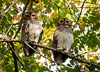 Spotted wood owls (Strix seloputo) is an owl of the earless owl genus, Strix. Its range is strangely disjunct; it occurs in many regions surrounding Borneo, but not on that island itself. Image taken in Pasir Ris Park - Singapore.