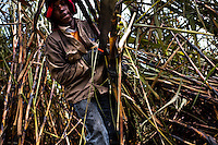 A worker carries sugar cane stalks on a plantation near Florida, Valle del Cauca, Colombia, 25 May 2012. The Cauca River valley is the booming centre of agriculture and sugar cane cultivation in Colombia. Although the main part of the crop is still refined into a sugar, the global demand of biofuel and ethanol has intensified the sugar cane production in the last years. 85 percent of Colombia's cane crop is still harvested the manual way, employing approximately 30,000 workers. Working six days a week, under harsch labor conditions, the sugar cane cutters earn $4 for every ton of cane they cut, with no access to social benefits due to the tricky system of intermediary contractors and cooperatives.