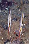 Aeoliscus strigatus, Razorfish, Ambon, Indonesia
