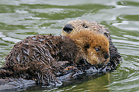 Sea Otter (Enhydra lutris) mother carrying young (about three weeks old) pup on her stomach.