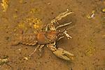 Appalachian brook crayfish, Cambarus (Cambarus) bartonii