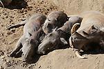 Wart hogs resting