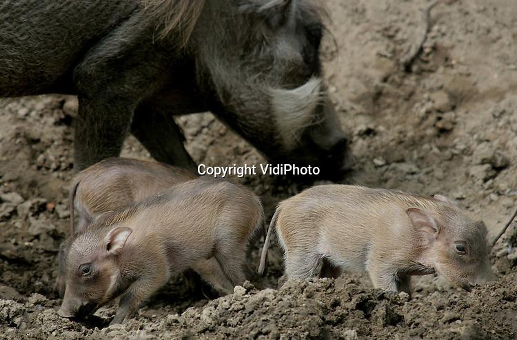 Foto: VidiPhoto..RHENEN - In Ouwehands Dierenpark in Rhenen mochten de zondag geboren wrattenzwijntjes dinsdag voor het eerst naar buiten. Het is voor het eerst dat er in Ouwehands drie wrattenzwijntjes tegelijk worden geboren. Zwijnenfokken is een lastig karwei omdat de dieren snel vervetten en dan geen jongen meer krijgen. Zwijntjes moeten eigenlijk zo weinig mogelijk voedsel krijgen.