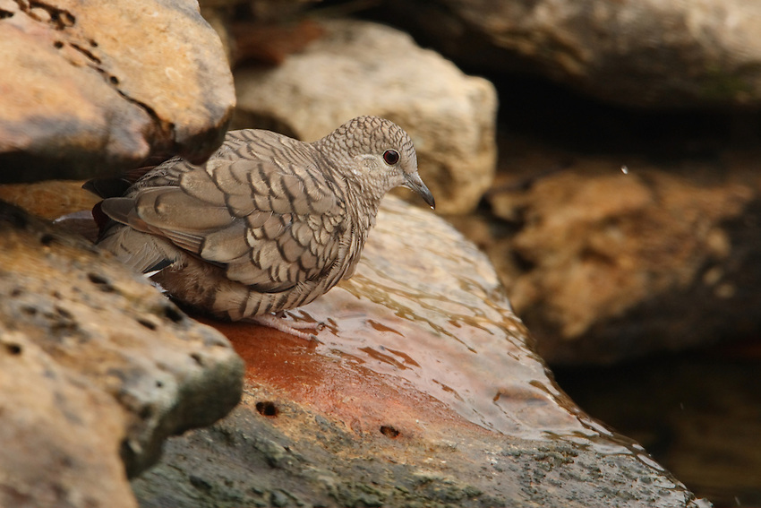 The Inca Dove would lift its head quickly after every drink, casting off small water drops to the front..