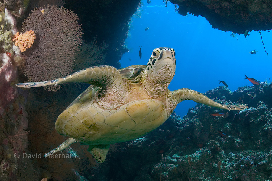 An endangered species, green sea turtles, Chelonia mydas, are a common sight around the island of Sipidan, Malaysia.