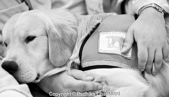 BEACON, NEW YORK: Rezzie rests in the lap of a prisoner in the medical facility at Fishkill Correctional Facility as part of the Puppies Behind Program. The patients look forward to the visits which are also used as a training exercise for the puppies who will work as service dogs. The program works with prison inmates in New York, New Jersey, and Connecticut to train both explosive detection dogs and service dogs, including ones who help injured soldiers or those suffering from post traumatic stress. Fishkill Correctional Facility is a medium security prison in New York with 22 men in the puppy program.