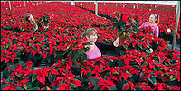BNPS.co.uk (01202 558833)<br /> Pic: PhilYeomans/BNPS<br /> <br /> Simply Red - The festive season must be on the way as the first of over 150,000 Xmas Poinsettias start leaving the Double H nursery near New Milton in Hampshire today.<br /> <br /> Staff at the nursery have carefully tended the bright red blooms over the last two months in preperation for the Xmas rush.
