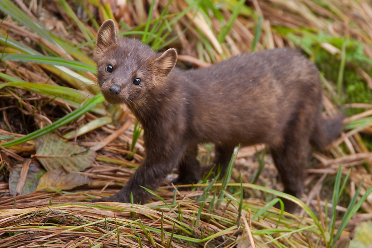 Pine Marten walking in the grass along a river
