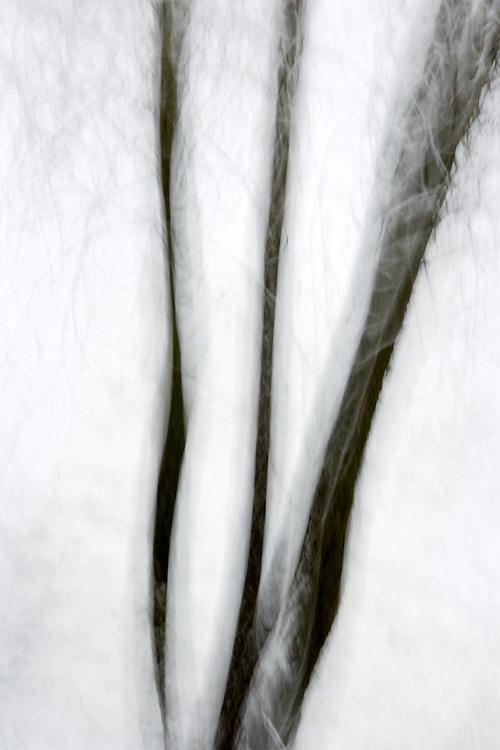 Willow in snowstorm, Sierra Nevada Foothills, California