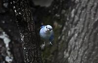 CALI - COLOMBIA - 09 - 02 - 2018: Azulejo Comun (Traupis Episcopus), especie de ave presente en Cali en el Departamento del Valle del Cauca. / Azulejo Comun (Traupis Episcopus), bird species present in Cali, in Valle del Cauca Department. Photo: VizzorImage / Luis Ramirez / Staff.