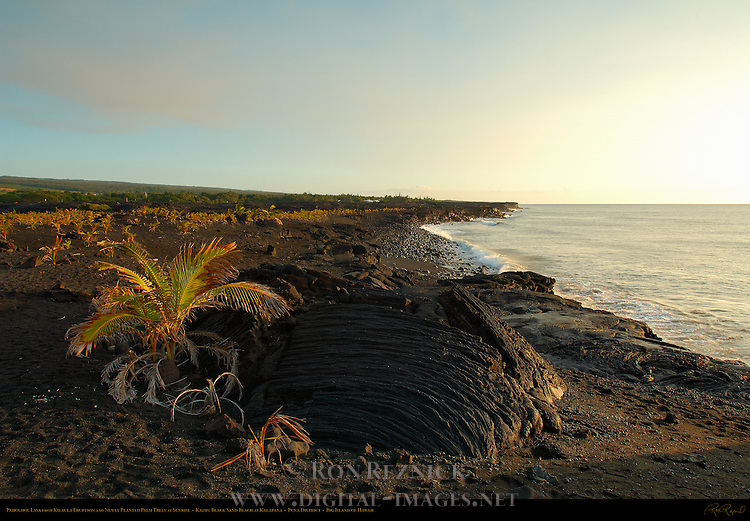Pahoehoe Lava from Kilauea Eruption and newly planted Palm Trees, Kaimu Beach at Kalapana, Black Sand Beach, Kaimu Bay, Puna District, Big Island of Hawaii