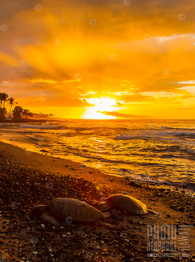 Two turtles rest on the shore in front of an orange sunset on Christmas Day, Mauna Lani, Big Island.