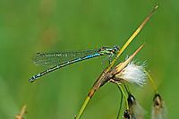 Sibirische Azurjungfer, Bileks Azurjungfer, Bileks-Azurjungfer, Weibchen, Coenagrion hylas, Siberian Bluet, female, Agrion de Frey