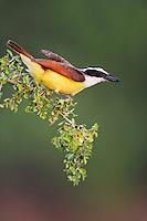 Great Kiskadee (Pitangus sulphuratus), adult eating berries, Dinero, Lake Corpus Christi, South Texas, USA