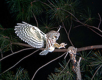 Northern Saw-whet Owl (Aegolius acadicus) catching a Deer Mouse (Ohio)