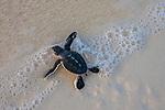 Green sea turtle hatchling, Mnemba Island, Tanzania