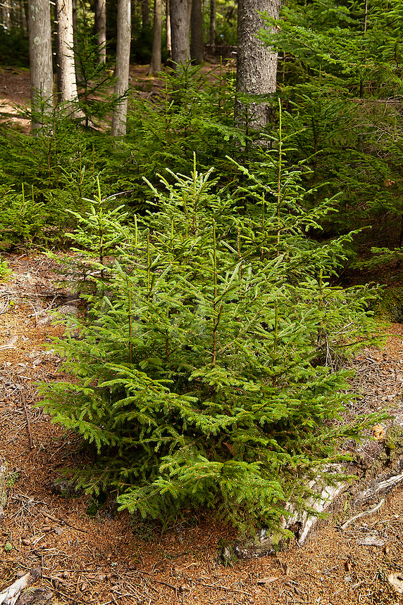 Seedling conifer trees, Pretty Marsh, Acadia NP, Maine, USA