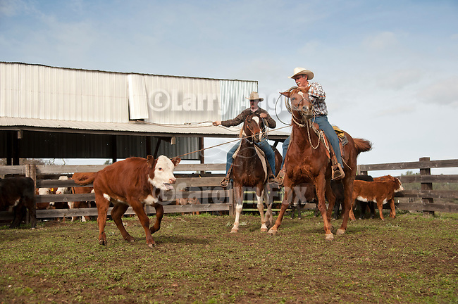 Calf marking and branding with Elliot Joses, Valley Springs, Calif.