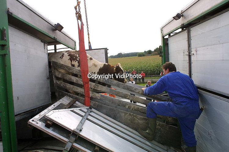 Foto: VidiPhoto..BARNEVELD - Bij een ongeval op de A1 ter hoogte van Barneveld zijn maandagochtend twee vrachtauto's achter op elkaar gebotst toen de voorste plotseling moest remmen. De achterste vrachtwagen, een veetransport uit Elspeet, was geladen met kalveren. Omdat die wagen zwaar beschadigd raakte moesten de kalveren omgeladen worden. Dat kon pas, vanwege de beschadigingen, tegen de middag. Tot bergingswerkzaamheden hebben tot diep in de middag geduurd.