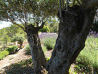 Gnarled olive trees provide shade from the scorching Mediterranean sunlight