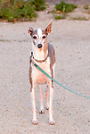 A Whippet dog on a blue leash.