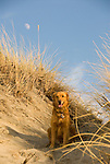 Golden Retriever sitting on a sand dune with moon in daylight sky