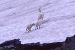 mountain goat and 2 kids
