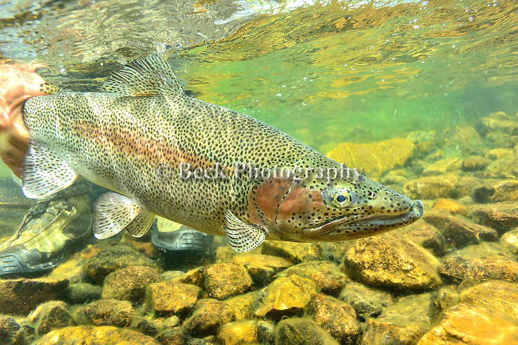 Underwater trout in  Tres Valles, Patagonia, Argentina