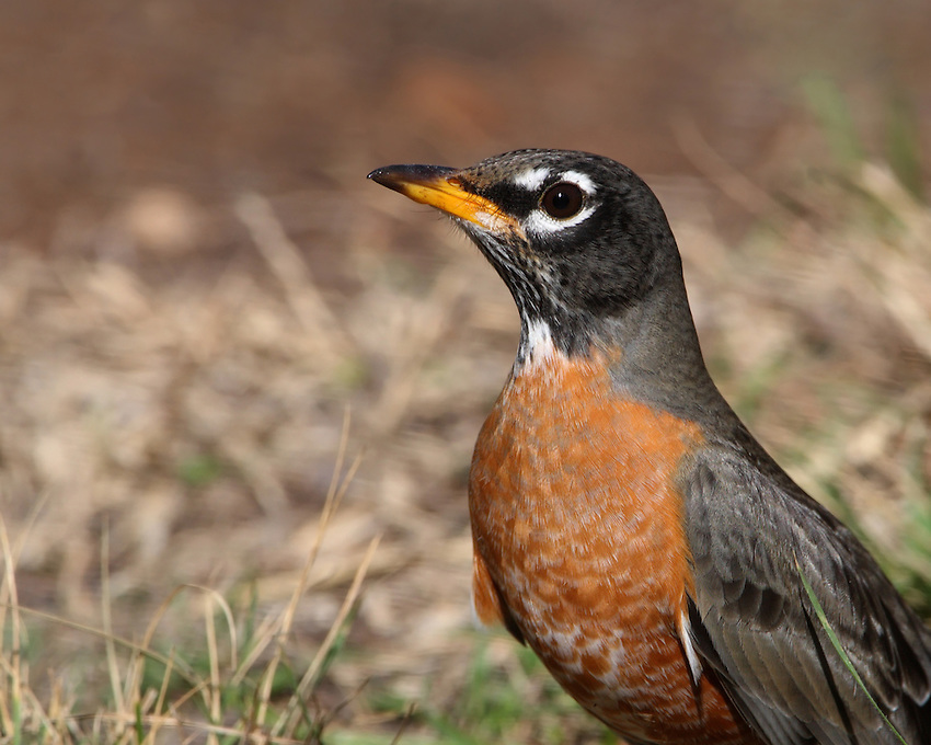 American Robin(Turdus migratorius)are popular birds for their warm orange breast, cheery song, and early appearance at the end of winter.