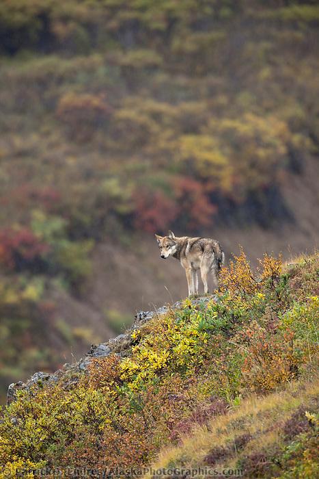 Gray wolf surveys a mountain ridge after a failed attempt to get two dall sheep rams, Polychrome pass, Denali National Park, Interior, Alaska.