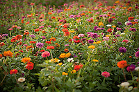 A field of wildflowers near Fredericksburg, Texas, Friday, July 24, 2009. (Darren Abate/pressphotointl.com)